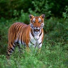 PARCHI INDIANI: progetto tigre   wildlife safari viaggi individuali tipologia viaggio subcontinente indiano nord india india centrale e del nord