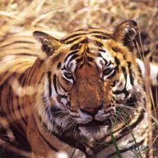 PARCHI INDIANI: Tigri e Bastar   wildlife safari viaggio ruby group viaggi individuali subcontinente indiano nord india india centrale e del nord etnie e tribu