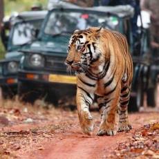 INDIA NORD: Progetto Tigre • partenze garantite   wildlife safari viaggi di gruppo tipologia viaggio subcontinente indiano siti unesco partenze garantite 2 nord india homepage post