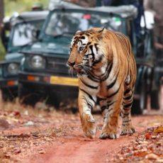 INDIA NEPAL: tigri palazzi e nepal • partenze garantite   wildlife safari viaggio ruby group viaggi di gruppo subcontinente indiano siti unesco rajasthan partenze garantite 2 paesi himalayani nord india nepal paesi himalayani india centrale e del nord himalaya